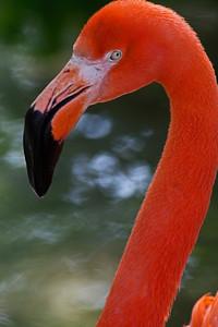 Flamingo Como Zoo St Paul MN_1106