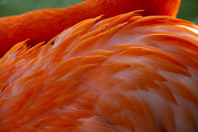 Flamingo Como Zoo St Paul MN_1108