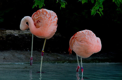 Flamingo Como Zoo St Paul MN_1104