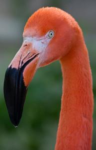 Flamingo_1115