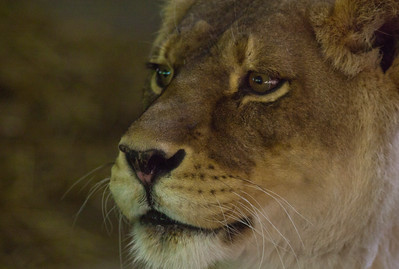 Lioness_1036
