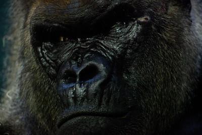 Lowland Gorilla Como Zoo St Paul MN_1090