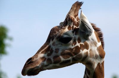 Giraffe_1011