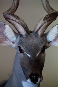Lesser Kudu Como Zoo St Paul MN_1063