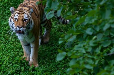 Siberian Tiger_1214
