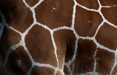 Giraffe_1021