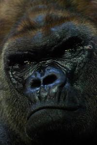Lowland Gorilla Como Zoo St Paul MN_1086