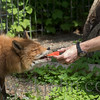 A keeper hand feeding one of our foxes.