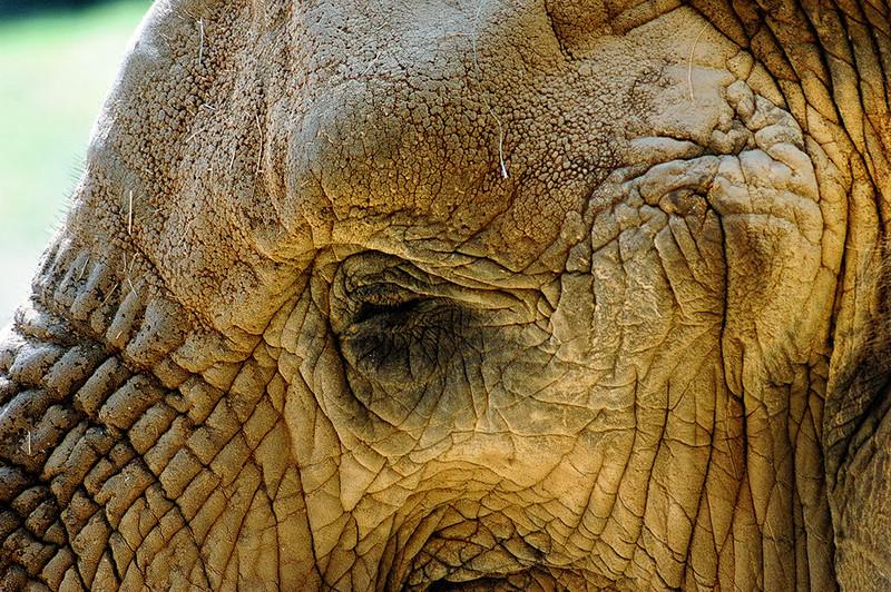 Elephant detail -color