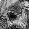 Elephant Detail - BW