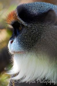 DeBrazza's Monkey
