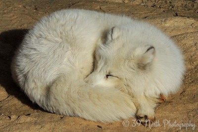 Arctic Fox in its winter clothes.