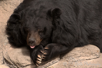 Asiatic Black Bear (aka Moon Bear)