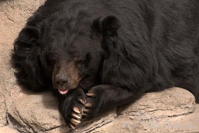 Asiatic Black Bear (aka Moon Bear)