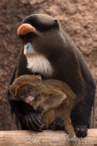 DeBrazza's Monkey and her 4-month old baby