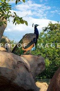 Peacock on Rock