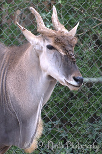 Common Eland with a dirty face