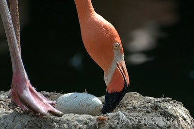 Flamingo tending her egg
