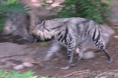 Striped Hyena on the move