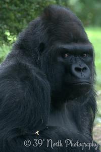 Michael the Lowland Gorilla