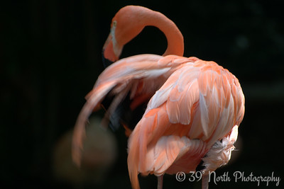 Flamingo fluffing