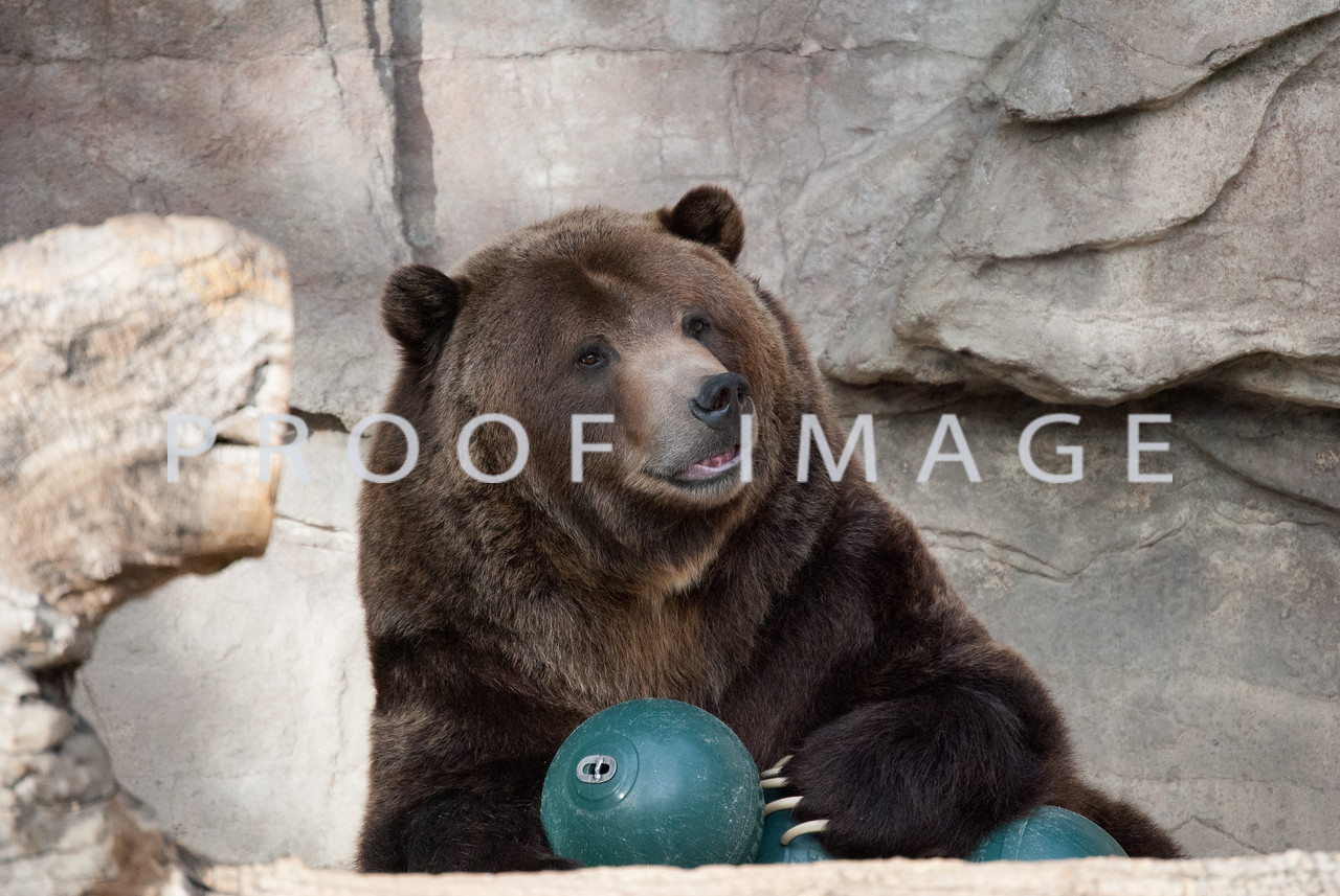 This bear is one of my favorite animals at The Denver Zoo