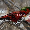 Red Lorikeet