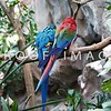Macaw - Love Birds