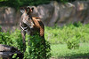 Grevy's Zebra - 7 months old