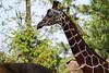 (Reticulated) Giraffe