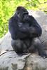 (Western Lowland) Gorilla