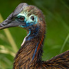 Neo the southern cassowary