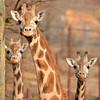 three young giraffes
