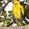 Black-naped Oriole (Oriolus chinensis)