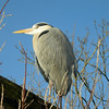 Grey Heron on the roof of the Snowy Owl enclosure waiting for the start of the Seal Lion Feeding