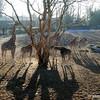 Backlit Giraffe group