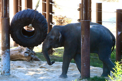 Kandula in musth, poor fella. The tire weighs 750 pounds.