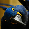 A hyacint macaw being interested in the audience (Burgers Zoo, Arnhem)