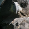 Young Golden Eagle (Burgers Zoo, Arnhem)