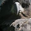 Young Golden Eagle (Burgers Zoo, Arnhem)