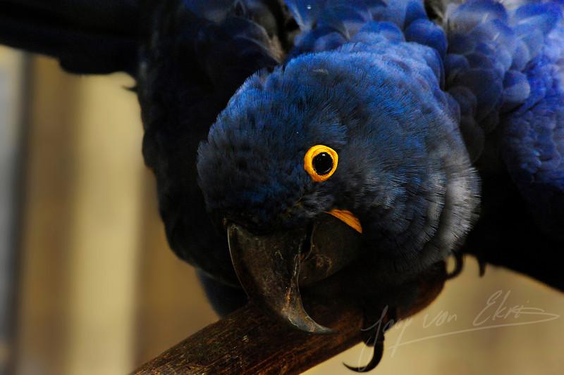 Eye contact with a hyacint macaw (Burgers Zoo, Arnhem)