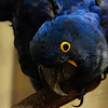 Eye contact with a hyacint macaw (Burgers Zoo, Arnhem)