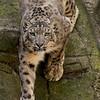 Klimmende sneeuwluipaard / Climbing snow leopard