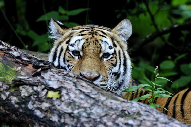 Siberian tiger hiding behind a tree (Dierenpark Amersfoort)