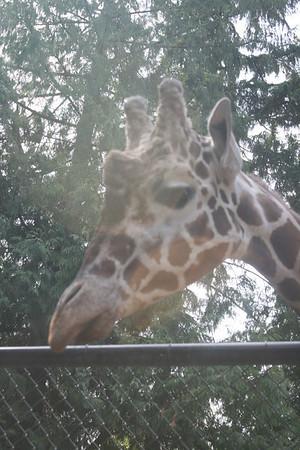 Feeding the giraffees