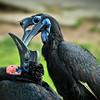Abyssinian Ground Hornbills (Bucorvus abyssinicus)