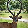 European Red Deer (Cervus elephus)