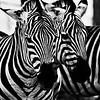 Grants Zebra (Equus burchelli)