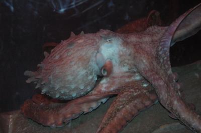 Gian Pacific Octopus