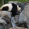 Tai gets a drink, National Zoo, Washington, DC, October 13,2008.